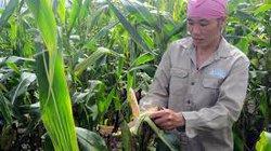 Người trồng bắp  được bồi thường thiệt hại