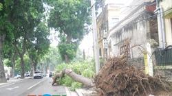 """Hà Nội: Cây xanh bất ngờ """"ngã nhào"""" trên phố Hoàng Diệu"""