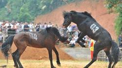 Hà Giang: Uy mãnh 32 chú ngựa tung vó vào trận thư hùng