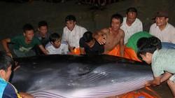 Quảng Ninh: Cả trăm người giải cứu cá voi khủng