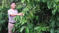 Cánh đồng mẫu cà phê đầu tiên ở Tây Nguyên: Năng suất tăng cao, đầu tư giảm