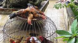 """Quảng Nam: Trong một đêm, hơn trăm con gà """"bay"""" theo... trộm"""