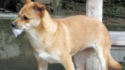 Hoang đường thầy lang chữa bệnh dại do chó cắn