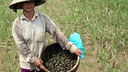 Chặn cỏ Lào, bèo Nhật, hải ly, tôm đỏ...: Người mỏng, lực yếu