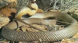Cận cảnh loài rắn độc thứ hai thế giới