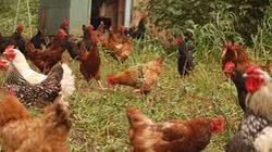 Bà Rịa- Vũng Tàu: Mở lớp dạy nghề  nuôi gà