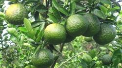 Vĩnh Long: Thu lời tiền tỷ, đua nhau thuê đất trồng cam