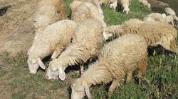 Ninh Thuận: 300 triệu đồng hỗ trợ nuôi cừu vỗ béo