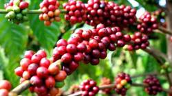 Lâm Đồng: Cần đẩy mạnh tài trợ vốn tái canh cà phê