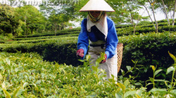 Tập huấn sử dụng phân bón Lâm Thao tại Yên Bái