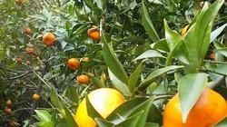 Thu tiền tỷ từ trồng cam trên quê lúa