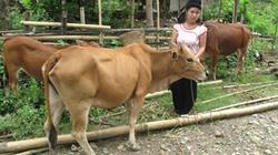 Báo Nông Thôn Ngày Nay tặng bò cho hộ nghèo: Thắp lên niềm vui thoát nghèo