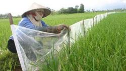 Dự báo sâu bệnh từ 14 - 20.7: Chuột gây hại trên mạ, lúa mới gieo