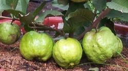"""Trồng cây ăn trái trong chậu - Thú vui tao nhã """"hái""""... ra tiền"""