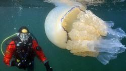 """Chùm ảnh sứa khổng lồ """"ngoài hành tinh"""" tuyệt đẹp"""