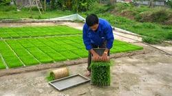 Triệu chứng và cách xử lý bệnh vàng lá nghẹt rễ lúa