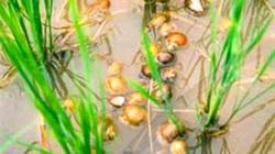 Lâm Đồng:  Rầy nâu, ốc bươu vàng  gia tăng trên lúa