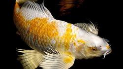 """Vẻ đẹp lộng lẫy của cá """"ngàn đô"""" đem lại may mắn"""
