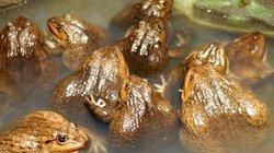 Nam Định: Mở lớp dạy nghề nuôi cá nước ngọt, ếch, ba ba