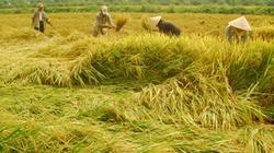 Đồng bằng sông Cửu Long: Giá lúa gạo tăng vọt, tranh mua để xuất khẩu