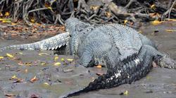 Cận cảnh cá sấu khổng lồ ăn thịt đồng loại dã man