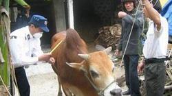 Gio Linh (Quảng Trị): Dịch lở mồm long móng xuất hiện trên gia súc