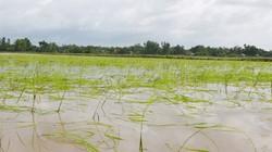 Long An: Trên 7.000ha lúa hè thu bị ngập úng