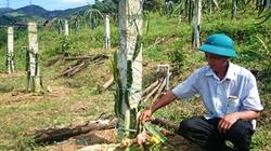 Quảng Ninh: Vườn thanh long ruột đỏ bị cướp phá tan hoang