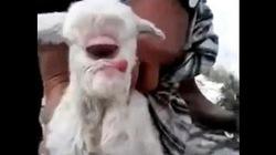 """Chú cừu """"ngoài hành tinh"""" chỉ có 1 mắt giữa trán"""