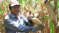 Ngô Lâm Đồng chật vật ra thị trường