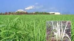 Khánh Hòa: Xuất hiện bệnh trắng lá mía