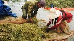 Đăk Lăk Lũ đến sớm, hàng trăm ha lúa mất trắng