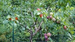 Cây với 40 loại quả trông khác lạ tới mức nào?