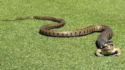 Ếch thoát khỏi miệng rắn một cách khó tin trên sân golf