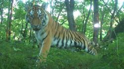 Hổ Amur tạo dáng chụp ảnh như người
