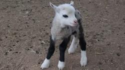 Cận cảnh con dê lai cừu kỳ dị, siêu dễ thương