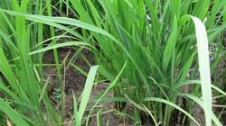 Dự báo sâu bệnh trên lúa và cây trồng tuần từ 4-10.8