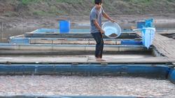 Nuôi cá lồng trên sông, hồ chứa ở Hòa Bình: Cá sạch, thu nhập tăng