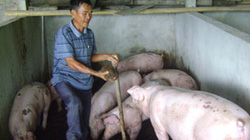 Chăn nuôi bền vững nhờ đệm lót sinh học