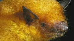 Phát hiện loài dơi có màu vàng ánh kim kỳ lạ nhất hành tinh