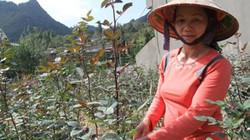 """Gặp """"bà chủ"""" thung lũng hoa hồng đỏ thắm nơi cao nguyên đá Đồng Văn"""