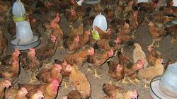 Hà Tĩnh: Hỗ trợ nông dân chăn nuôi liên kết