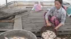 Cá chết hàng loạt vì... sốc nước ở đồng bằng sông Cửu Long