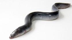 """KHÓ TIN: """"Cụ"""" lươn sống qua... 2 thế kỷ, thọ 155 tuổi"""
