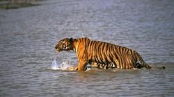Hổ đói nhảy lên thuyền tha một phụ nữ vào rừng