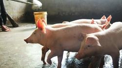 Xử lý ổ dịch tả trên lợn