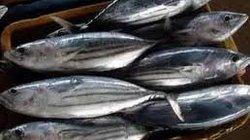 Giá cá sọc dưa giảm, ngư dân lỗ nặng