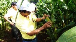 Nông dân Việt Nam có được tự do trồng cây biến đổi gene?