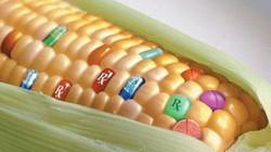 Cây trồng biến đổi gene - Liệu có quản lý được rủi ro?
