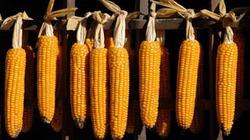 """Cây trồng biến đổi gene: """"Không phải cây đũa thần"""""""